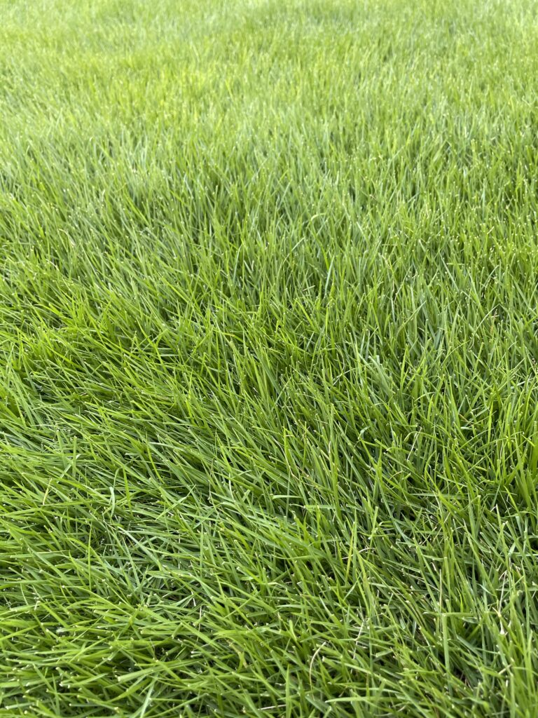 マスターズへの道。芝生のラフ化が進んでいます。