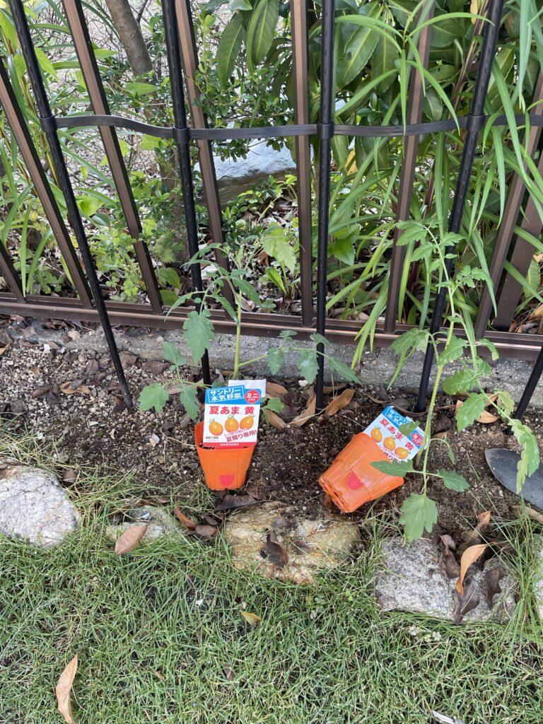 今年も来るべき食料危機に備えて野菜を植えてみた。